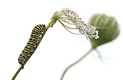 Black Swallowtail caterpillar covered with morning dew on half eaten Queen Anne's Lace flower