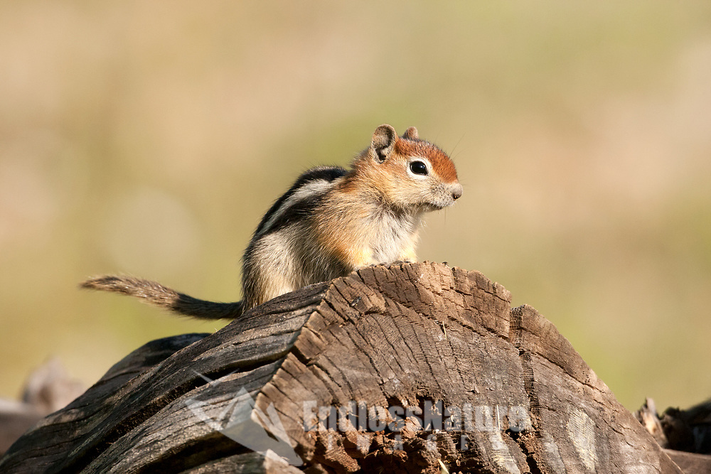 A Uinta Chipmunk stands on a cut log in the mountains of northern Utah this little chipmunk is curious and nosey.