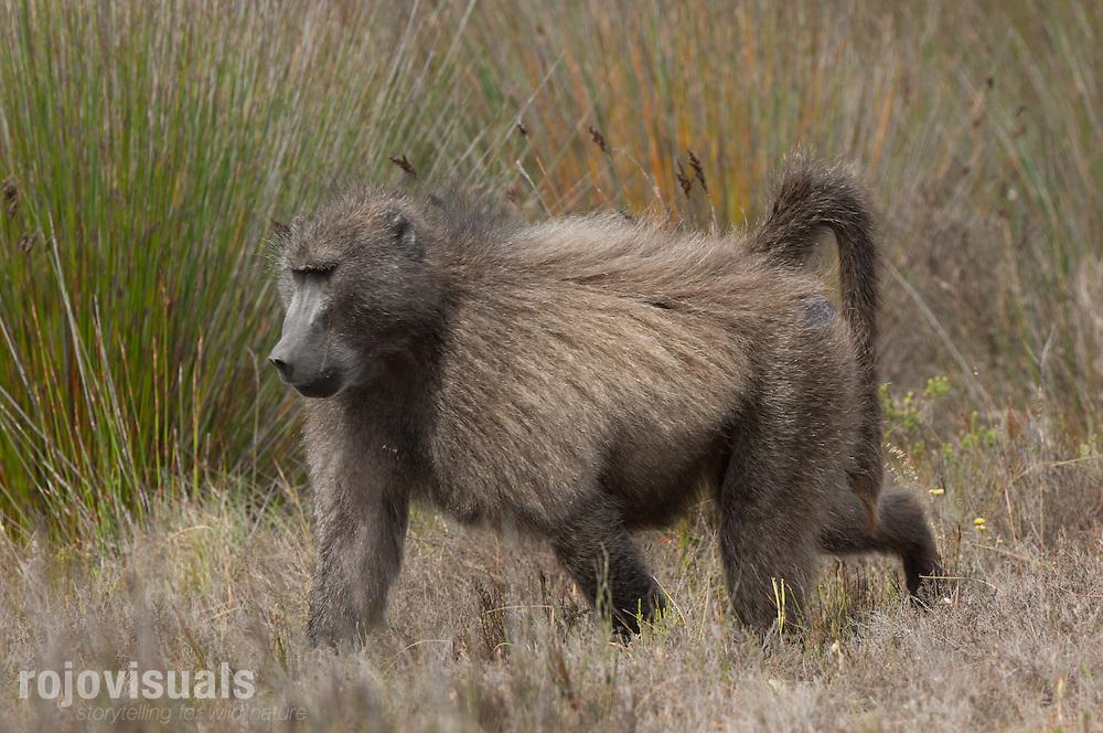 Chacma Baboon (Papio ursinus)<br /> De Hoop Nature Reserve.<br /> Cape Province. South Africa
