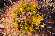 Detail of Barrel Cactus in bloom near Yaqui Pass, Anza-Borrego Desert State Park, California