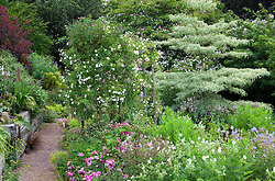 Alice's garden at Glebe Cottage, Rosa mundi, geraniums, Cornus controversa 'Variegata', Lobelia tupa and Rosa 'Sander's White' on pergola