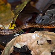 Snake, Corcovado National Park, Costa Rica.  April 2009.  (Photo/William Byrne Drumm)