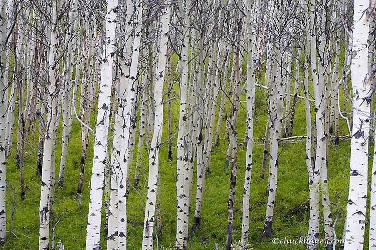 Grove of aspen trees near East Glacier Montana