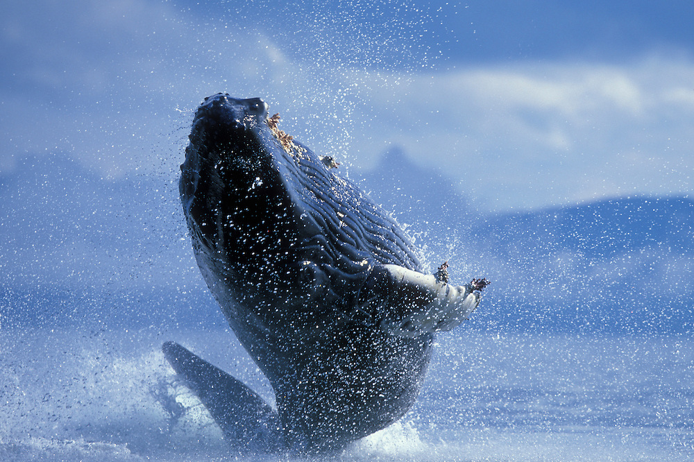 USA, Alaska, Tongass National Forest, Young Humpback Whale (Megaptera novaengliae) breaches in Frederick Sound
