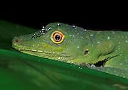 Anole Lizard; Anolis punctatus; Ecuador