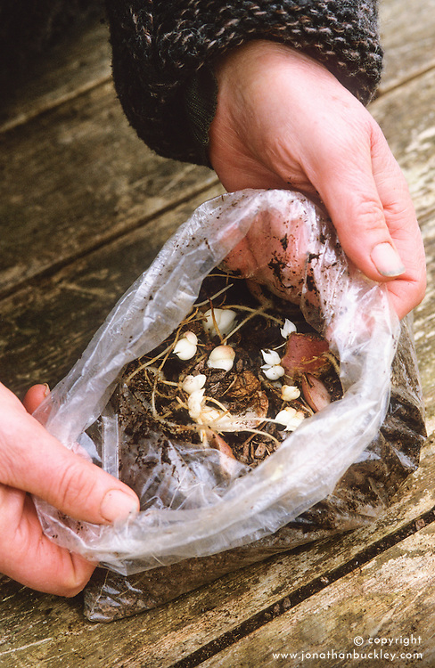 Lily bulb scaling. Open plastic bag showing bulblets developed on scales