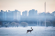 UNITED KINGDOM, London: 29 November 2016 A stag takes a stroll through a frosty Richmond Park this morning as temperatures plummeted to -7C last night. Rick Findler / Story Picture Agency