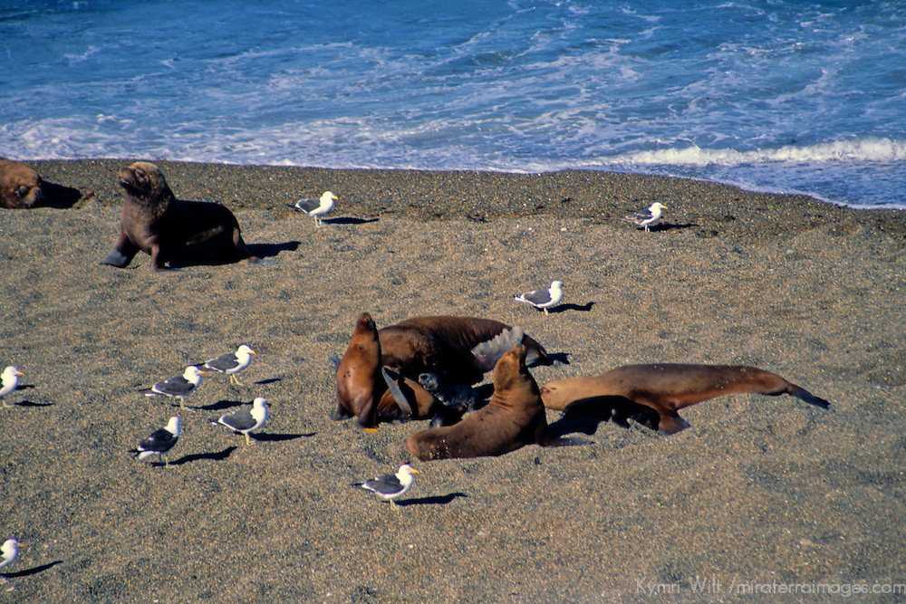 South America, Argentina, Valdes Peninsula. Sea Lion colony of the Peninsula.