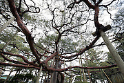 supported large and long branches of a red pine tree in the Kenrokuen Garden in Kanazawa Japan