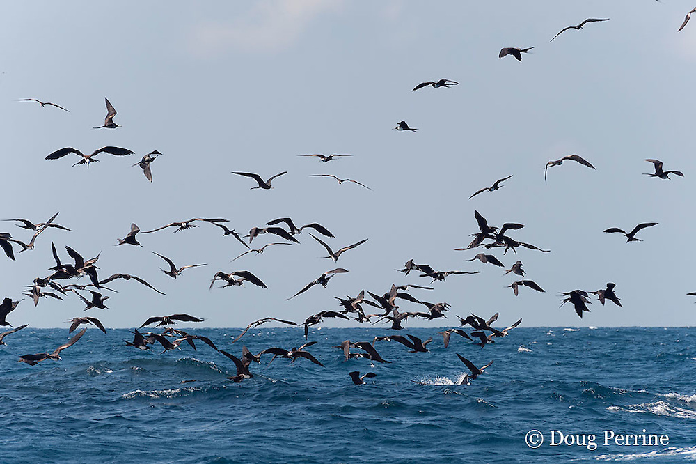 frigate birds, Fregata sp., and Atlantic sailfish, Istiophorus albicans, attacking bait ball of Spanish sardines (aka gilt sardine, pilchard, or round sardinella ), Sardinella aurita, off Yucatan Peninsula, Mexico ( Caribbean Sea )