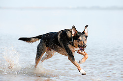 I love photographing dogs running and playing not just our dog but all dogs interest me here is William Wallace paddling in the sea. ..14th September2011 Image © Paul David Drabble