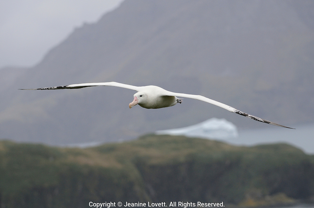 wondering albatross flying with a South Georgia Island.