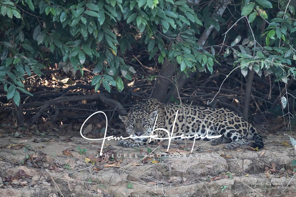 Jaguar Resting Under Foilage
