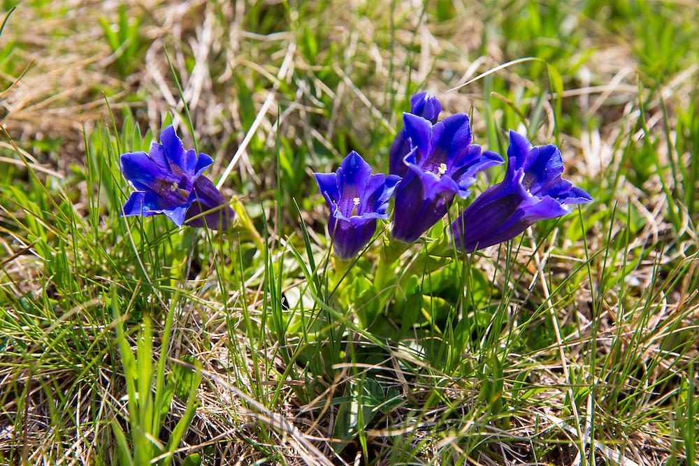Alpine Gentian wildflower, Gentiana acaulis, trumpet gentians in Swiss Alps meadow, Bernese Oberland, Switzerland