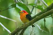 Peru Amazonian land birds Passerines
