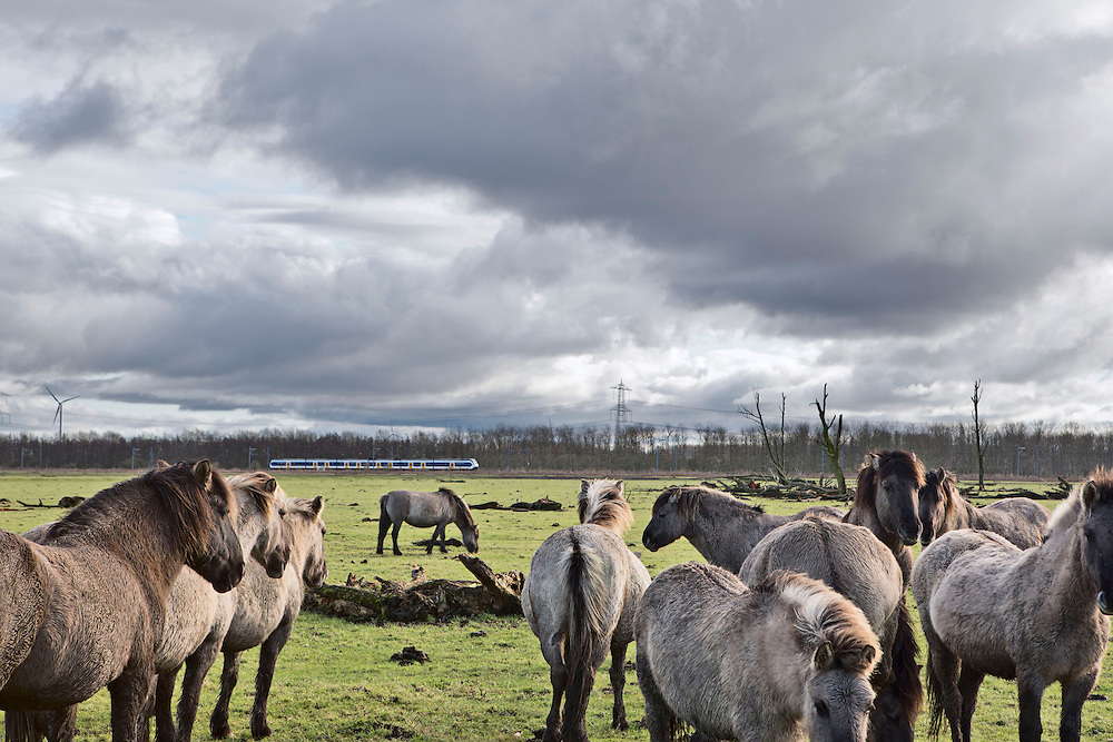 """Konik horses, descended from Tarpans, one of the world's last subspecies of truly wild horse, on the Oostverdesplassen nature reserve. The reserve is a wilderness that was constructed from reclaimed land. The reserve occupies fourteen thousand perfectly flat acres on the shore or the inlet turned lake. This area was originally designated for industry; however while it was still in the process of drying out, a handful of bioligist convinced the Dutch government that theland would be better used to recreate a paleolithic landscape. The biologist set aboutstocking the Oostverdesplassen with the sorts of animals that would have inhabited the region since prehistoric times had it not been underwater. For example, Heck cattle, were used in place by the extinct aurochs, these are cattle of a variety specially bred by Nazi scientists. The cattle grazed and multiplied, so did the red deer, the wild horses, the egrets, the geese and foxes. All were brought in from other countries. These mammals reproduced so prolifically that the German magazine Der Spiegel dubbed the Oostvaardesplassen """"the Serengeti behind the dikes."""" Flevoland, Netherlands."""