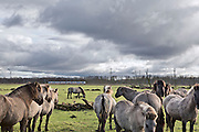 "Konik horses, descended from Tarpans, one of the world's last subspecies of truly wild horse, on the Oostverdesplassen nature reserve. The reserve is a wilderness that was constructed from reclaimed land. The reserve occupies fourteen thousand perfectly flat acres on the shore or the inlet turned lake. This area was originally designated for industry; however while it was still in the process of drying out, a handful of bioligist convinced the Dutch government that theland would be better used to recreate a paleolithic landscape. The biologist set aboutstocking the Oostverdesplassen with the sorts of animals that would have inhabited the region since prehistoric times had it not been underwater. For example, Heck cattle, were used in place by the extinct aurochs, these are cattle of a variety specially bred by Nazi scientists. The cattle grazed and multiplied, so did the red deer, the wild horses, the egrets, the geese and foxes. All were brought in from other countries. These mammals reproduced so prolifically that the German magazine Der Spiegel dubbed the Oostvaardesplassen ""the Serengeti behind the dikes."" Flevoland, Netherlands."