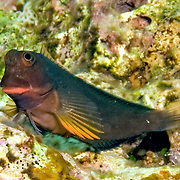 Redlip Blenny inhabit rocky inshore areas and shallow reef tops less than 30 ft. in Tropical West Atlantic; picture taken Anguilla, Grenadines.