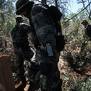 "The national forests in California and across the nation are increasingly being used to grow marijuana. The clandestine grows are shielded by tree canopies and are often close to, if not actually inside, recreational usage areas so that the growers can appear to be normal recreational users. A task force comprised of Sheriff deputies, US Forest Service Agents and Dept. of Justice agents raided a grow in the Tahoe National Forest that yielded 5000 plants in the 2""-12"" range and arrested one Mexican national who was tending the grow. Here, task force agents search for the marijuana plants."