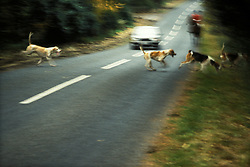 Hunt havoc, foxhounds run across a road in pursuit of a fox, Leicestershire, England, United Kingdom.