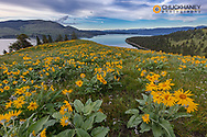 Arrowleaf balsomroot wildflowers in spring on Wild Horse Island State Park near Dayton, Montana, USA