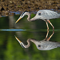 Shore Birds and Wading Birds