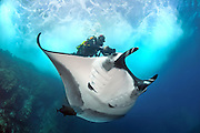 Giant manta ray (Manta birostris), photographed off Mexico, Pacific Ocean.