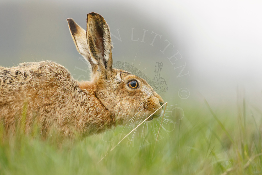European Hare (Lepus europaeus) adult feeding in field margin, South Norfolk, UK. March.