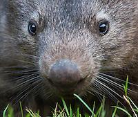 Common Wombat (Vombatus ursinus) grazing in Wollemi National Park, NSW, Australia