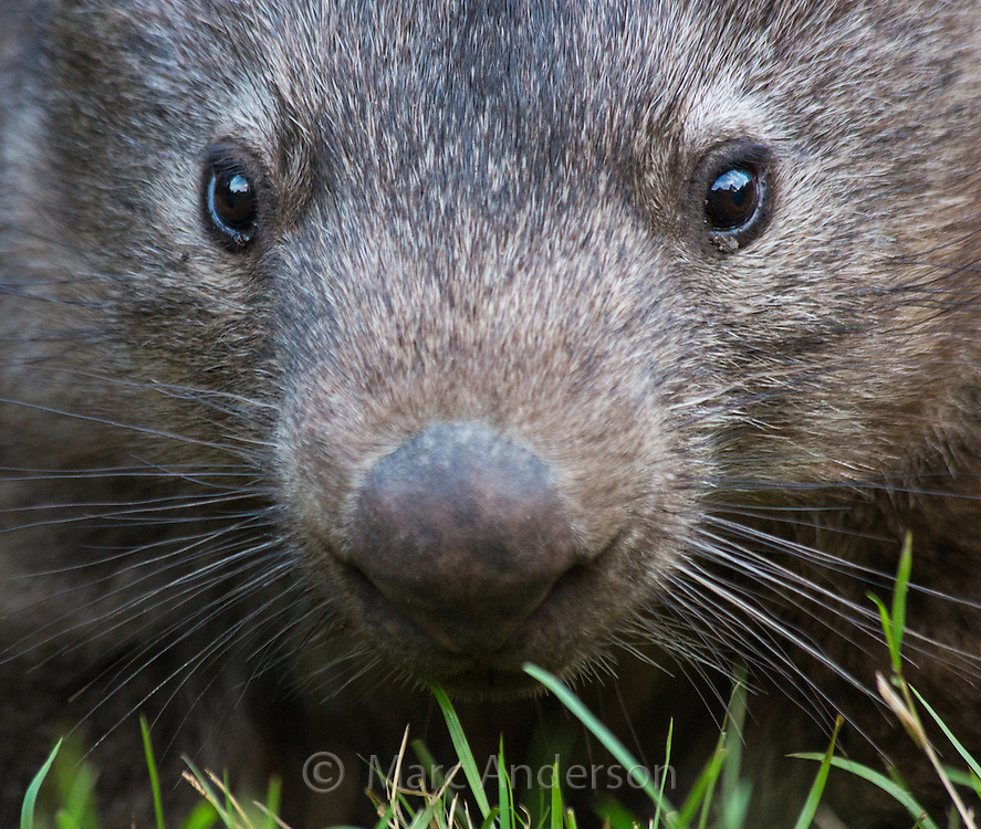 Common Wombat (Vombatus ursinus) grazing in Wollemi National Park, NSW, Australia