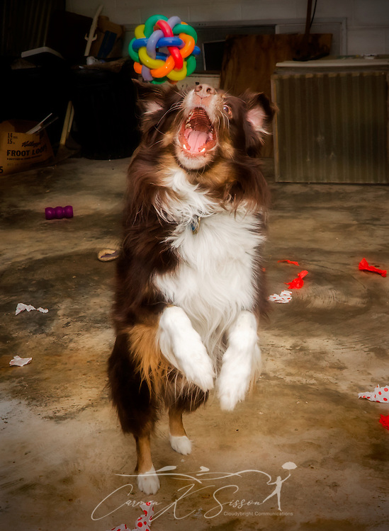 Cowboy, a five-year-old red-tri Australian Shepherd, leaps to catch a multi-pet Nobbly Wobbly rubber ball in mid-air, Dec. 25, 2013, in Coden, Alabama. (Photo by Carmen K. Sisson/Cloudybright)