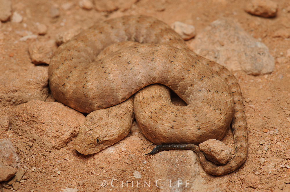 A Pilbara Death Adder (Acanthophis wellsi) from the desert regions of Western Australia. Although superficially resembling vipers by their stout body and habit of ambushing prey, death adders are actually elapids and more closely related to cobras, kraits, and coral snakes.