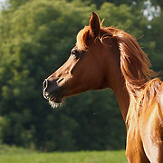 Head and shoulders profile shot of chestnut Arabian horse in pasture