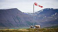 Sheep at an small airstrip at Þingeyri, West fiords of Iceland.