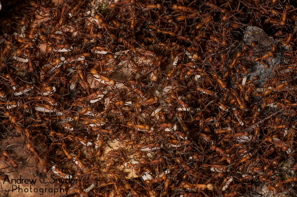 Army ants. World Wildlife Fund/Global Wildlife Conservation Biodiversity Assessment Team 2-Potaro Plateau
