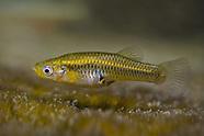 Endangered Fish Species