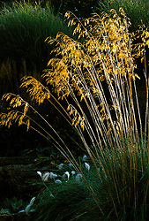 Stipa gigantea at Lady Farm, Somerset<br /> Giant feather grass<br /> Golden oats