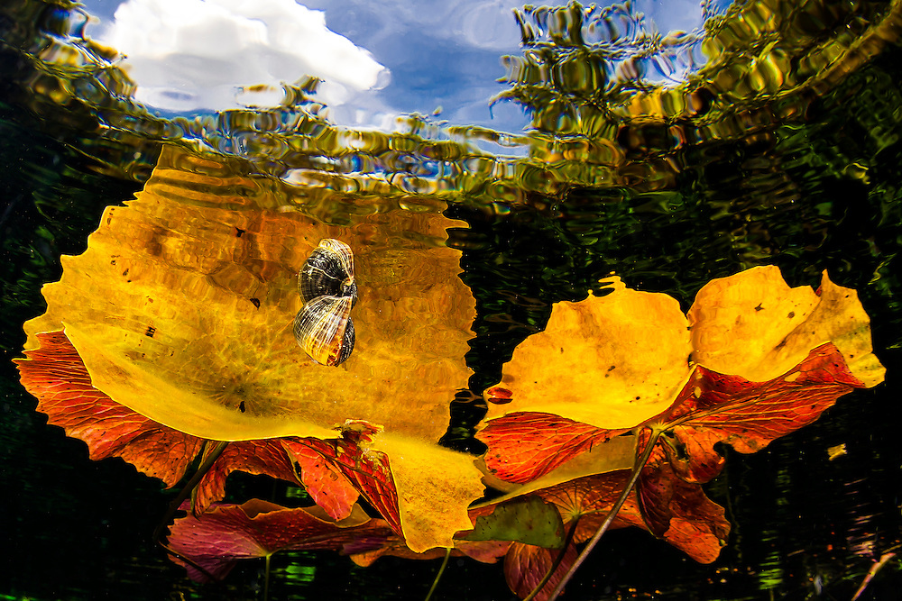 México, Quintana Roo. A fresh water snail floating above a water plant reflecting on the surface and trees and clouds from above at cenote Dos Ojos.
