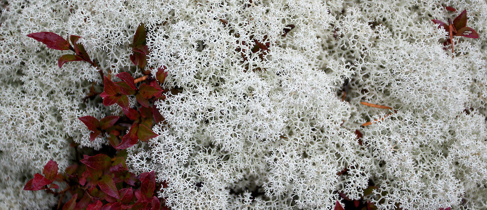A cloud of  lichen accented by blueberry leaves create a striking combination. Hiking trail, Schoodic, part of Acadia National Park.