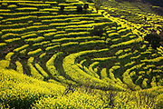 SHANGRAO, CHINA <br /> <br /> Stunning pictures of rape bloom flowers in China<br /> <br /> Rape flowers bloom over the terrace at Huangling Village in Wuyuan County <br /> ©Exclusivepix Media