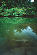 Bull Shark (Carcharhinus leucas) entering Sirena River, Corcovado National Park, Costa Rica. <br />