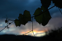 Grape leaves are shadowed by a fiery sunset, Okanagan Centre, BC