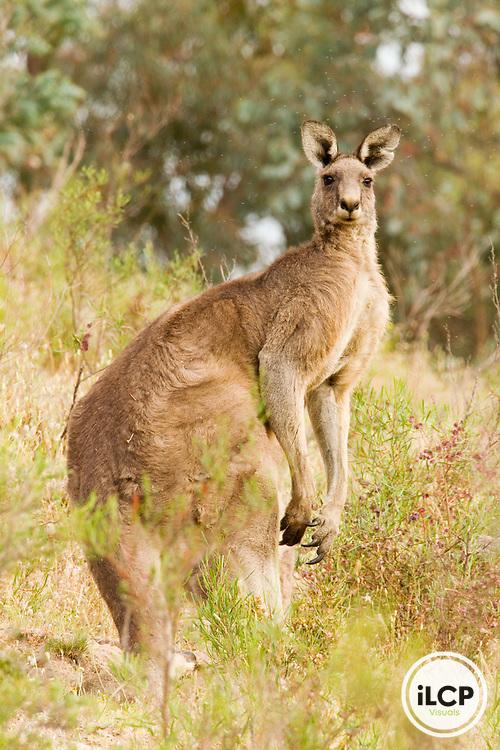 Eastern Grey Kangaroo (Macropus giganteus) male in scrubland, Mount Taylor Nature Reserve, Canberra, Australian Capital Territory, Australia