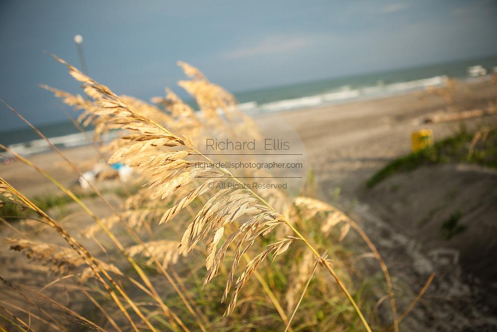 Sea oats along the beach on Isle of Palms, SC.