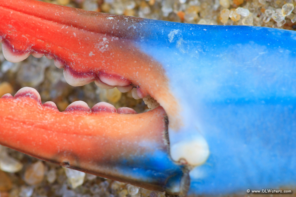 Blue crab claw close up found on  a Outer Banks beach.