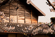 Cherry blossoms (sakura) spreading out in front of an old Meiji era-style house in spring.