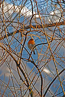 Ticino, Southern Switzerland. A finch perched in a bare tree by the lake while in the background are snowy mountains.