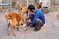 Inde, Rajasthan, Jodhpur la ville bleue, le matin les indiens nourrissent les animaux // India, Rajasthan, Jodhpur, the blue city, animal feed