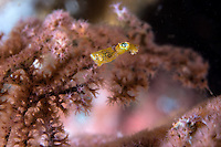 A Pygmy Squid, less than 5mm long, seeks shelter amongst soft coral polyps<br /> <br /> Shot in Indonesia