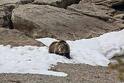 Grizzly bear in snowy habitat